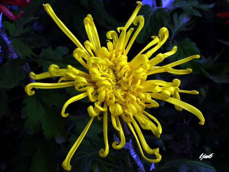 黄色花瓣古风素材