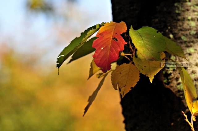 卫矛的叶子,也在秋天变红。除了最有名的枫叶,秋天其实还有很多红色的叶子,比如美国枫香,黄栌,日本吊钟花,等等,它们让秋天变得斑斓美丽。