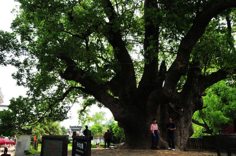世界最粗的树图片_搜狐博客
