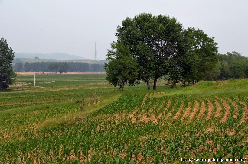 河边的风景依旧,黄色的沙地上,低矮的绿色玉米株连成行,与高大的树木