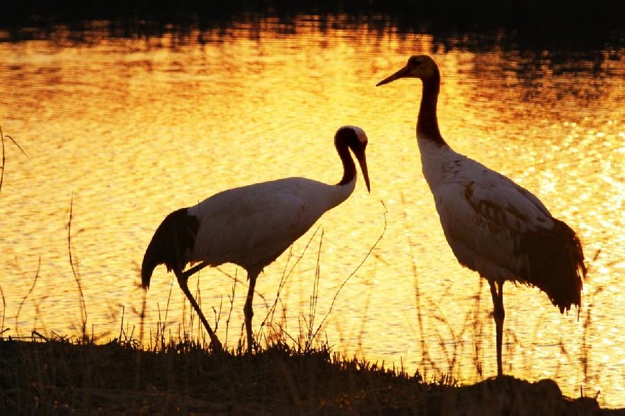 """""""走过那条小河,你可曾听说,有一个女孩她曾经来过……还有一群丹顶鹤轻轻地轻轻飞过。""""这是几年前曾经流行过的一首歌曲,描述了一位为救丹顶鹤而牺牲的姑娘的故事,它就发生在丹顶鹤的冬日家园——江苏盐城。 盐城丹顶鹤自然保护区,总面积有360多万亩,核心区面积约15万亩。这里有着芦苇丛生的天然植被,丰富多样的海涂生物,人迹罕至的空旷宁静,是禽类生活的理想场所。每年来这里越冬的雁、鸭类鸟类成千上万,飞起来黑压压一片,蔚为壮观,尤其是每年来这"""