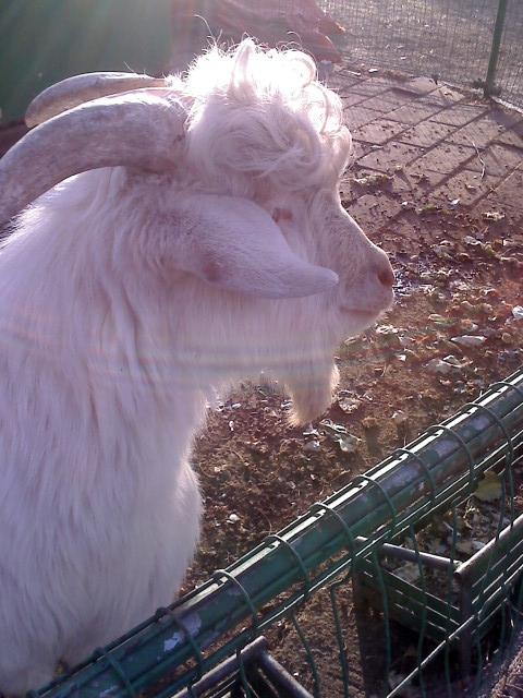 外经贸有各种小动物,跟动物园似的,这是小羊的最新发型,帅爆了.