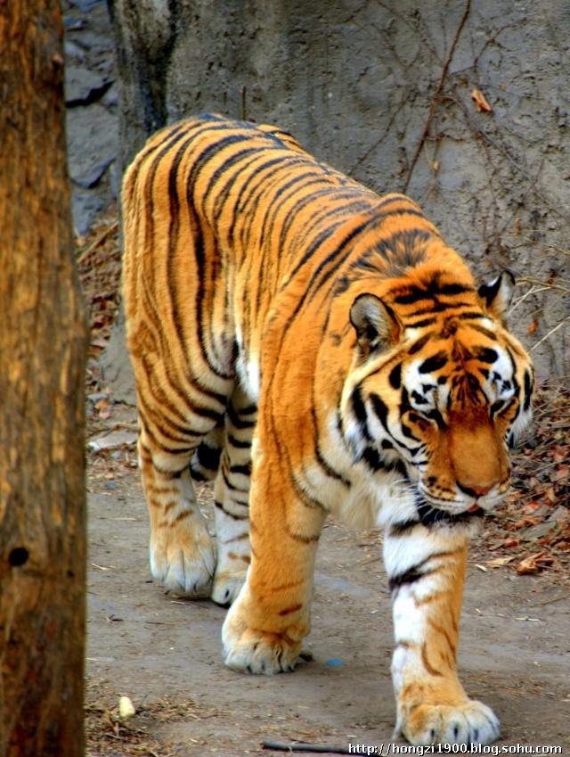 王东北虎不仅因为头上顶个王字,那架势也让人想起虎虎生威的