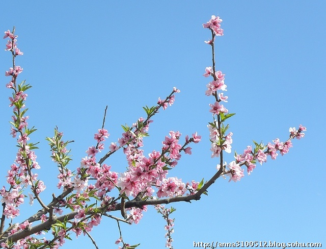在那桃花盛的地方——北京平谷区桃花节