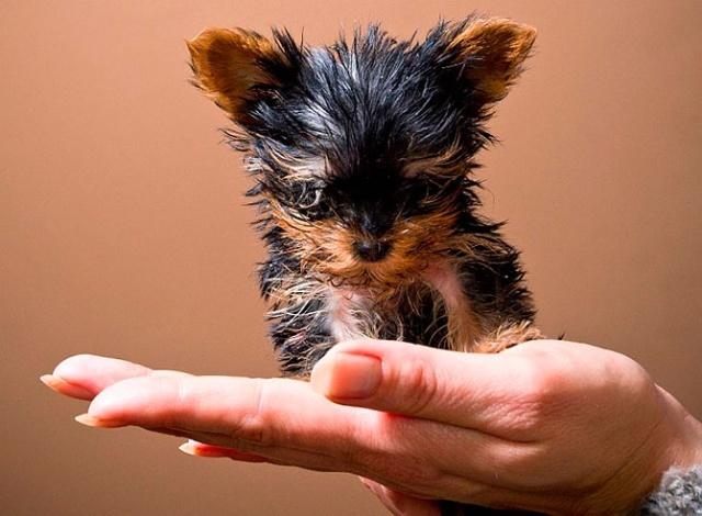 世界上最小的狗 欲与可乐誓比高