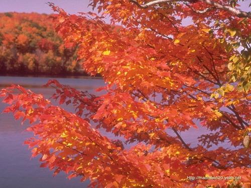 背景 壁纸 枫叶 红枫 绿色 绿叶 树 树叶 植物 桌面 500_375