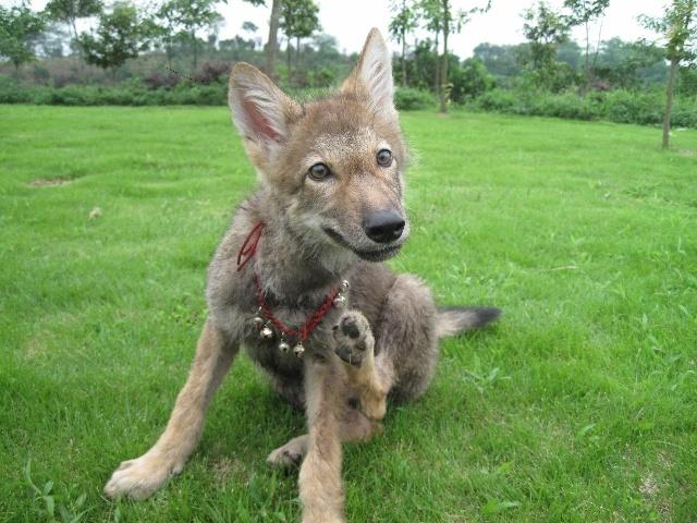 动物小狼动态跑步图片