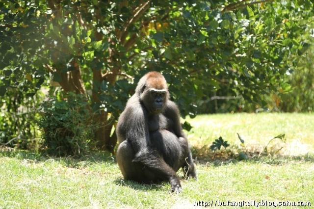 银背大猩猩后腿站立