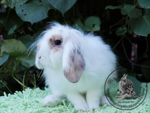 12月8日,这母兔兔越来越漂亮了!相机的感光度不太好,拍出来的躁点比较多!但是兔兔美的不行!比照片美很多哦!头大,脸圆圆!当年,还有人买了退了,说是兔子有病!让我们从房山送到朝阳,从朝阳接回来,整整耽误了2天的时间!我们去接回来,又说兔子没病,是不想养了!家庭繁育的卖家,伤不起啊!我养了这么久它都好好的!如果,您想养,就好好养,如果没有想好,请不要千方百计的算计家养卖家!我们不容易!!!!!喜欢的朋友,不要错过这么漂亮的兔兔!淘淘是和用心的饲养的!