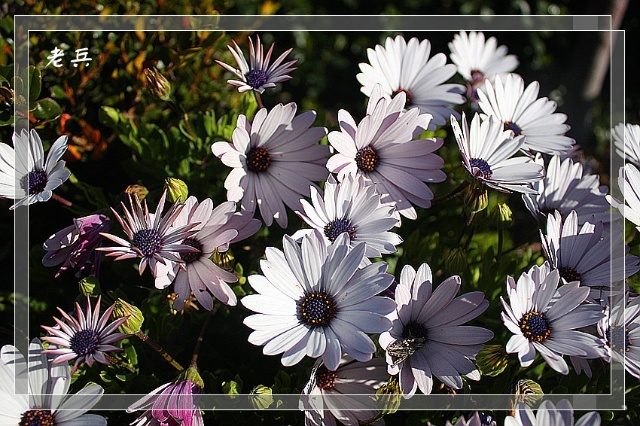 南非长寿菊图片