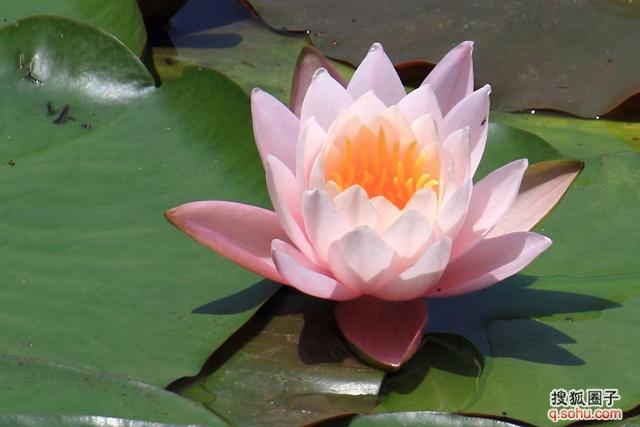 莲花被佛教视为圣物,象征吉祥.佛教徒认为莲花之中睡莲最美,所以