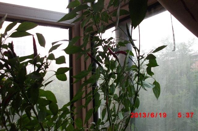 阳台种的菜